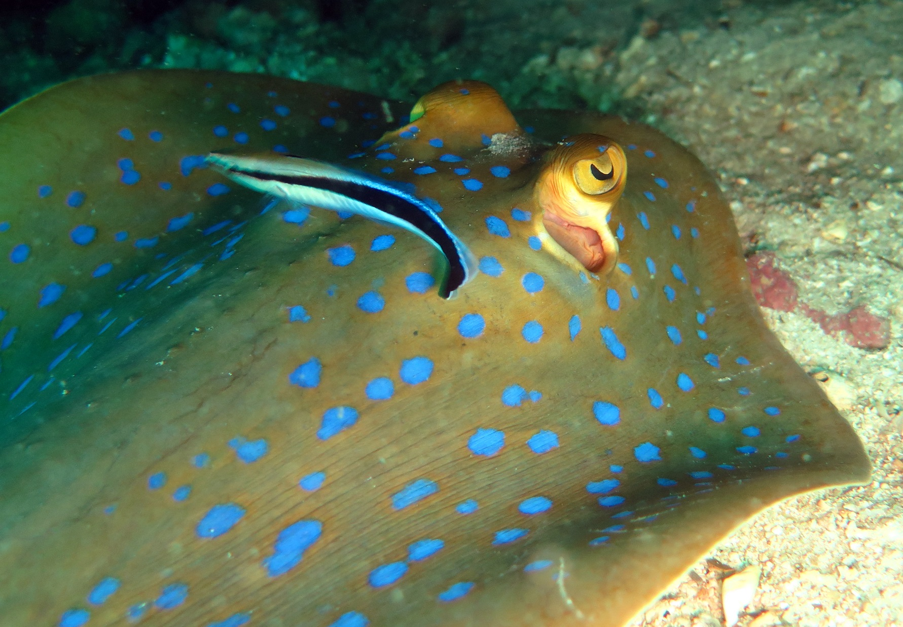 ray---blue-spotted.jpg